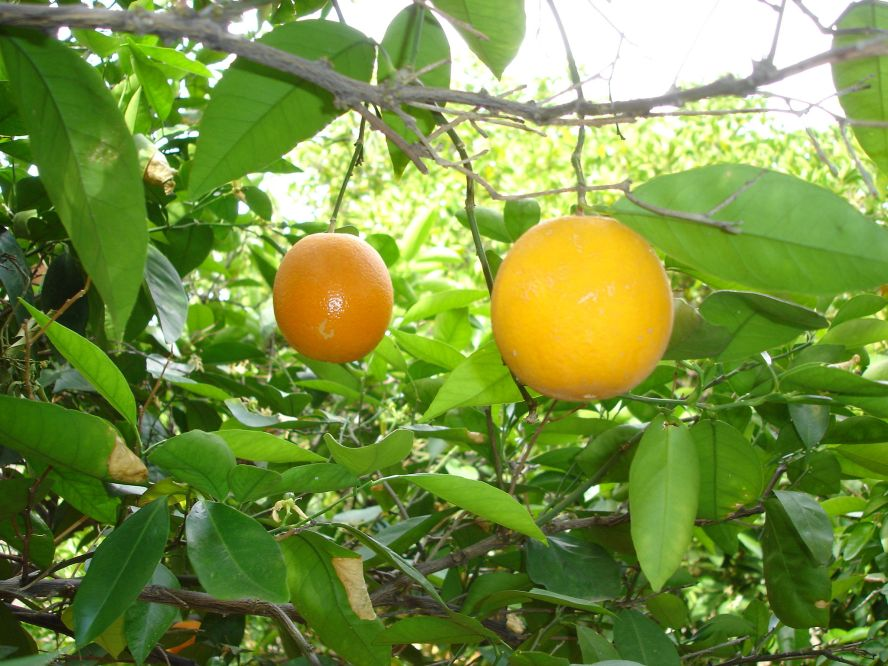 Orange_tree_economics