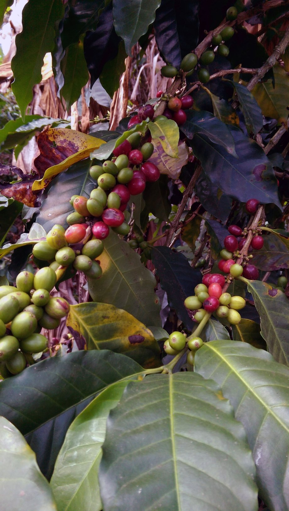 Coffee fruits at the Hacienda Combia's coffee tour