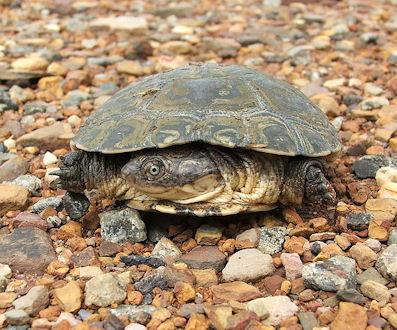 safari - turtle