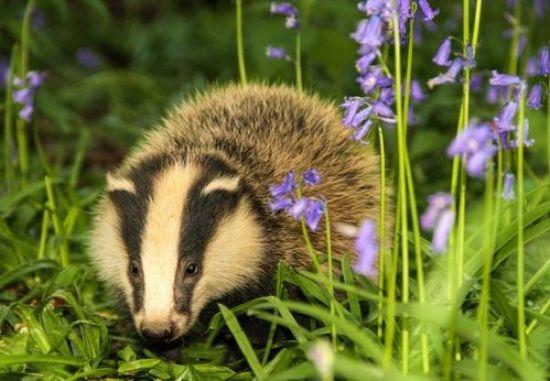 Badger by bluebells