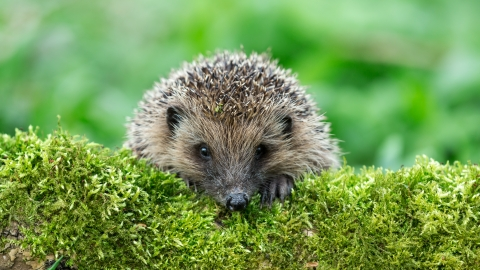 A Reminder About Helping Hedgehogs
