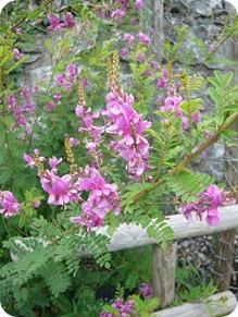 indigotier (indigofera tinctoria)