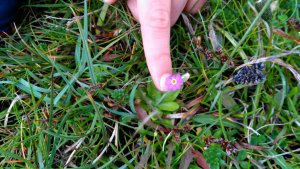 The tiny rare flower, Primula Scotica. Another natural wonder at Yesnaby.