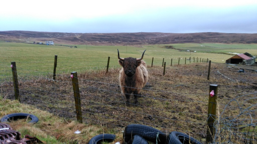 Along the St Magnus Way from Finstown to Orphir we met some beautiful highland cattle, with long hair and long horns.