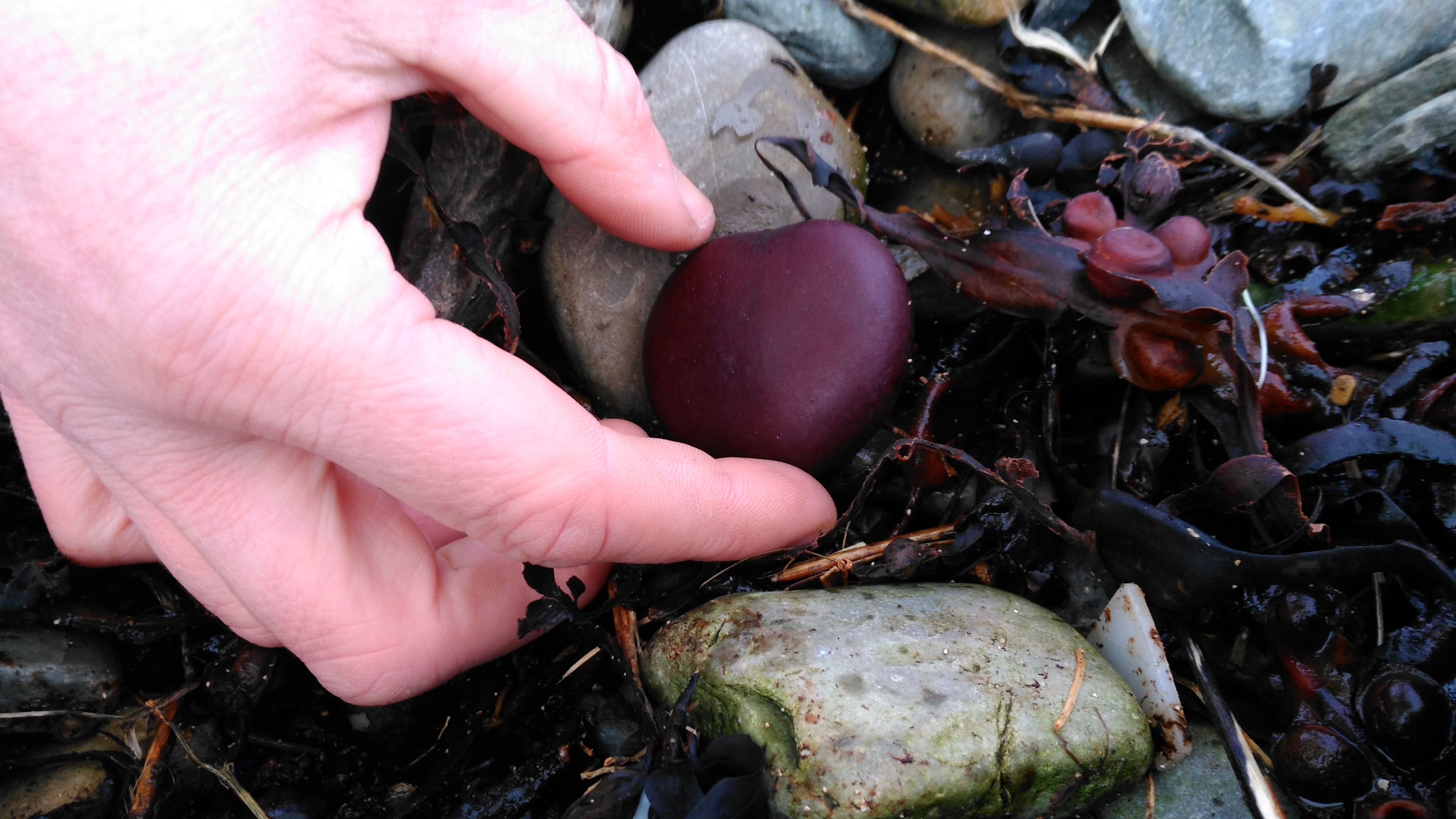 Nature's own Valentine: A Molucca Bean, or Sea Heart, is a tropical seed from the Monkey Ladder vine. It has been carried by the ocean currents from central America to the Orkney Islands.
