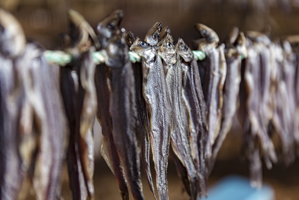 Saak (oolichan), the Nisg̱a'a Nation's saviour fish, hang to dry at a camp along the Nass River. Photo by Brodie Guy.