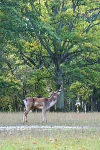 Adventure in Dublin Fallow deer in Phoenix Park Dublin Ireland