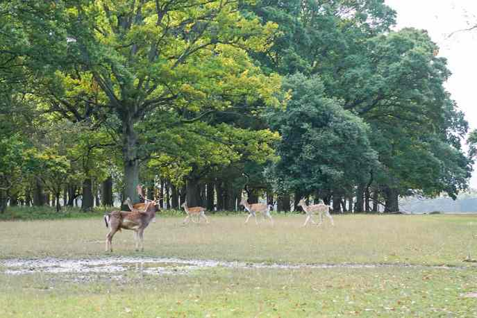 Adventure in Dublin Fallow deer in Phoenix Park Dublin Ireland