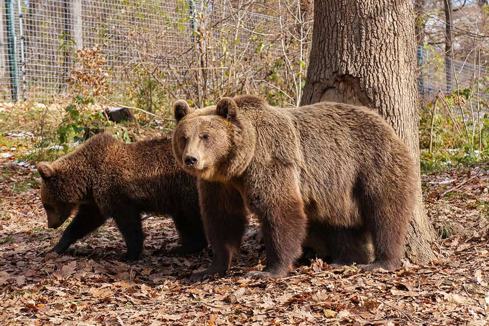 Bear and cub in the woods