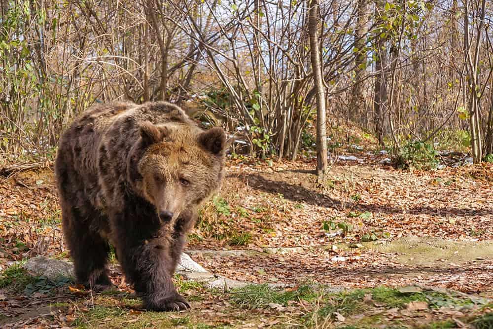 Bear at Libearty Bear Sanctuary Romania