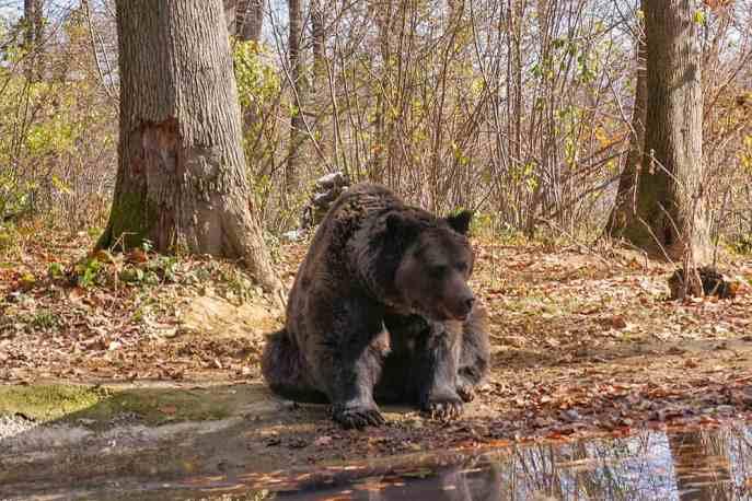 Bear by pond at Libearty Bear Sanctuary Romania