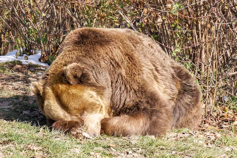 Bear sleeping in the sun