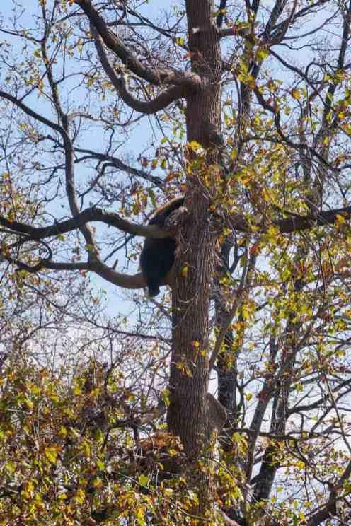 Bear climbing a tree at Libearty Bear Sanctuary