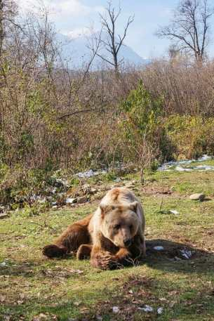 Bear lying down in Libearty Bear Sanctuary - #Romania