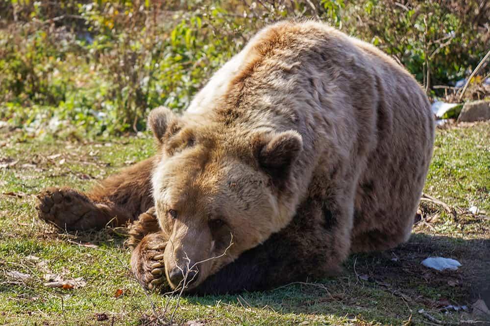 Bear Sleeping in Libearty Bear Sanctuary