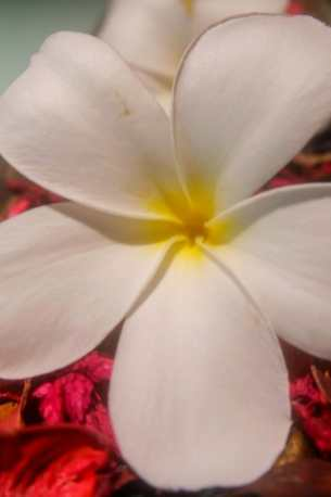 Frangipane Flower Kerala
