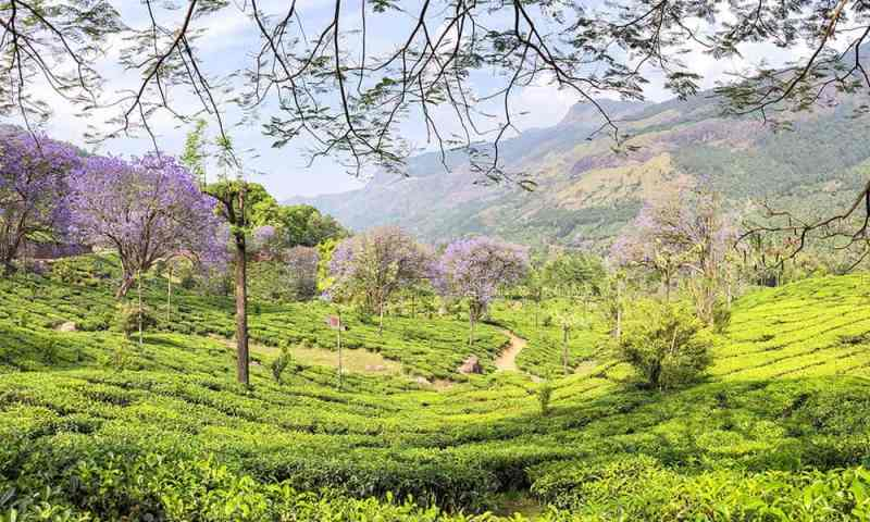 Vagavurai Tea Plantation with jacaranda trees in bloom in Munnar, Kerala - #munnar #kerala #india