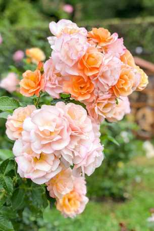 Salmon coloured roses in bloom