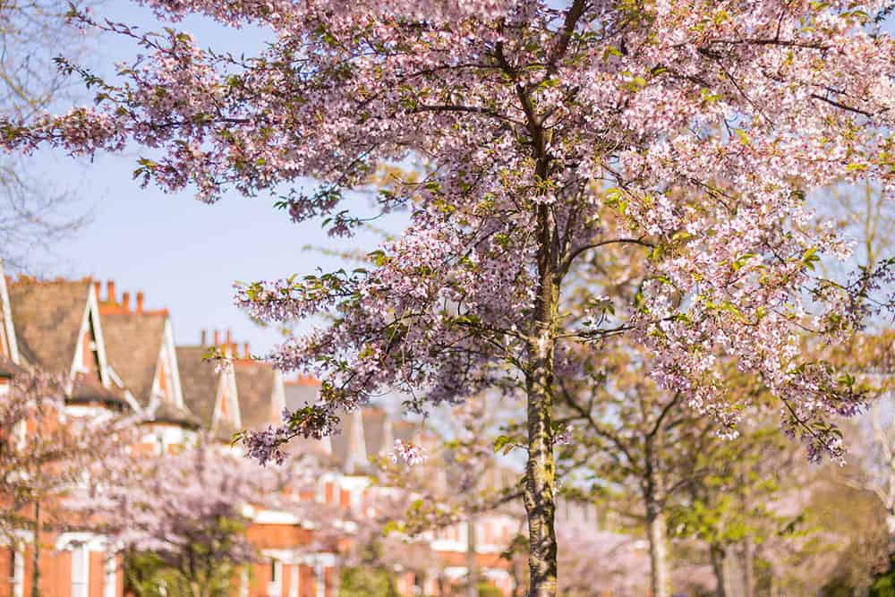 Cherry blossom tree with row of red brick houses in the background