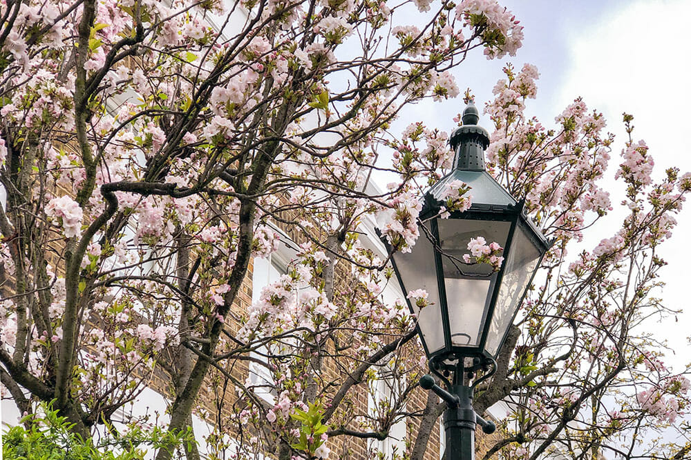 Traditional Victorian street light surrounded by branches of very light pink cherry blossom