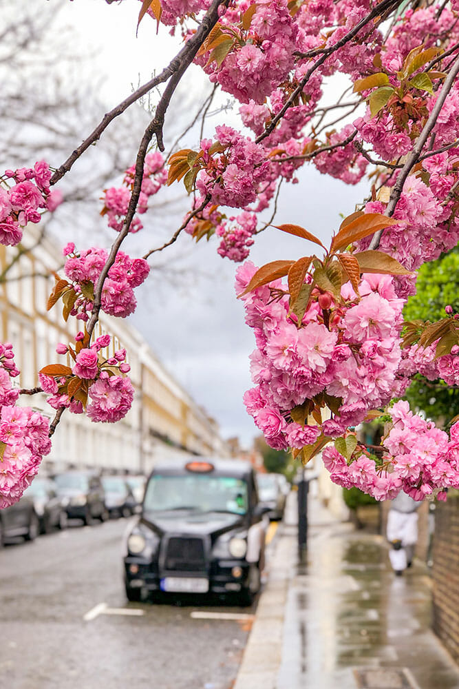 London Black Cab parked on a road framed by pink cherry blossom branches