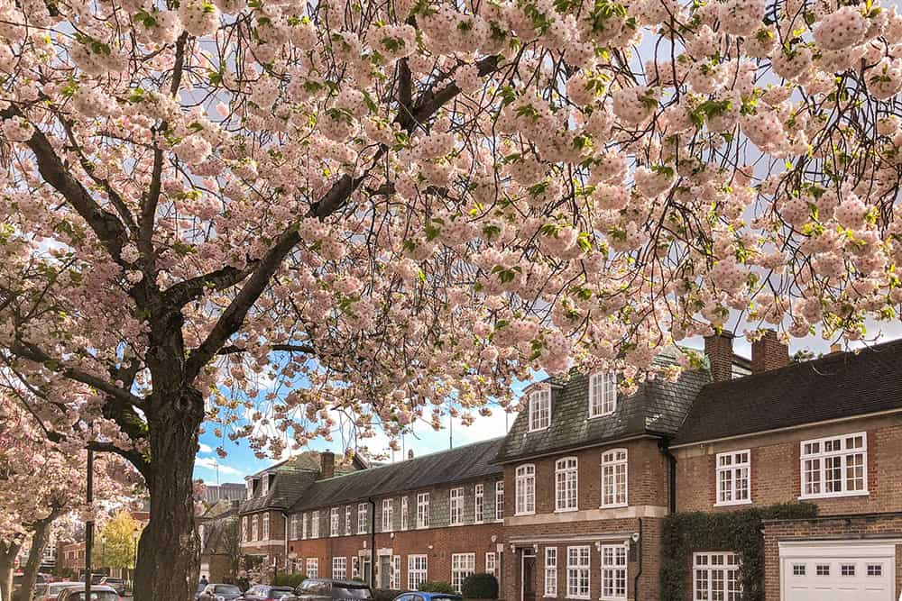 Street lined up with large light pink cherry blossom trees on one side and two storey red brick buildings on the other