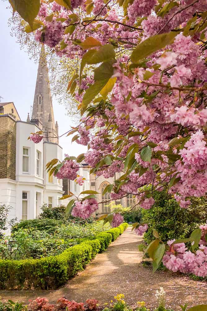 Garden with pink cherry blossom tree on the right and a two storey white building and a church spire on the left