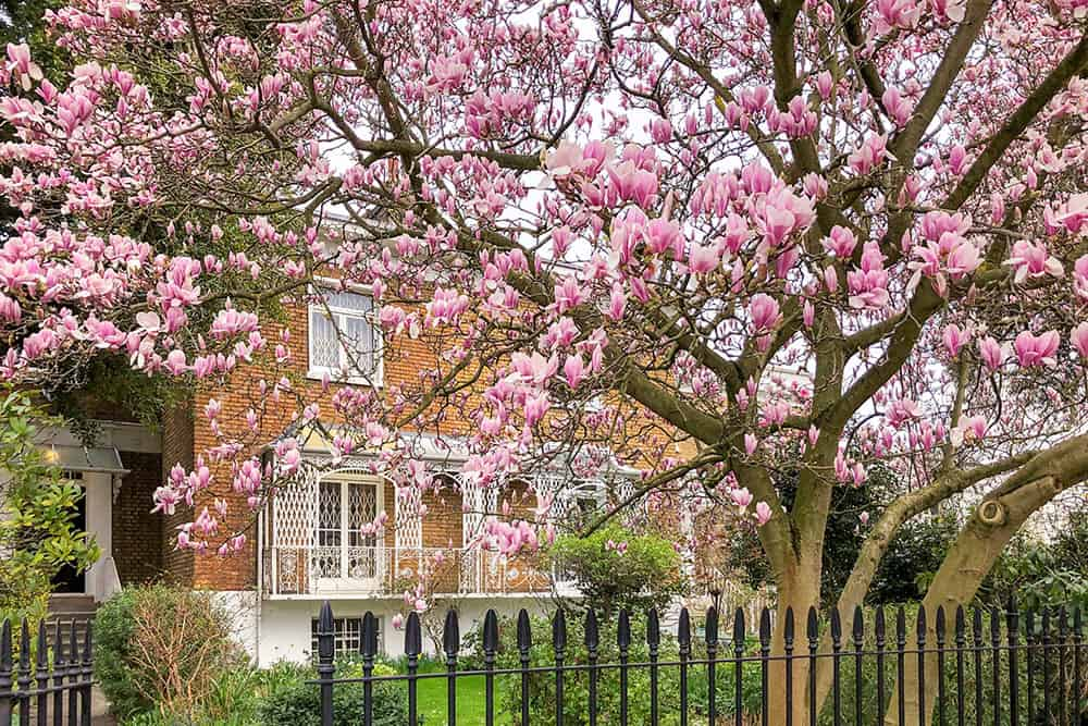 Flowering magnolia tree in a garden with brick house with balcony