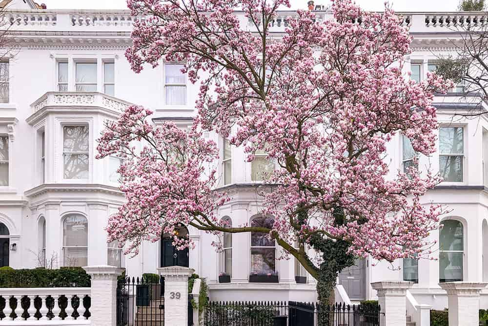 Big flowering magnolia outside a large white house