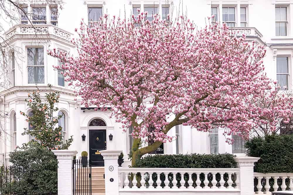 Big magnolia tree with abundant pink flowers outside a white house