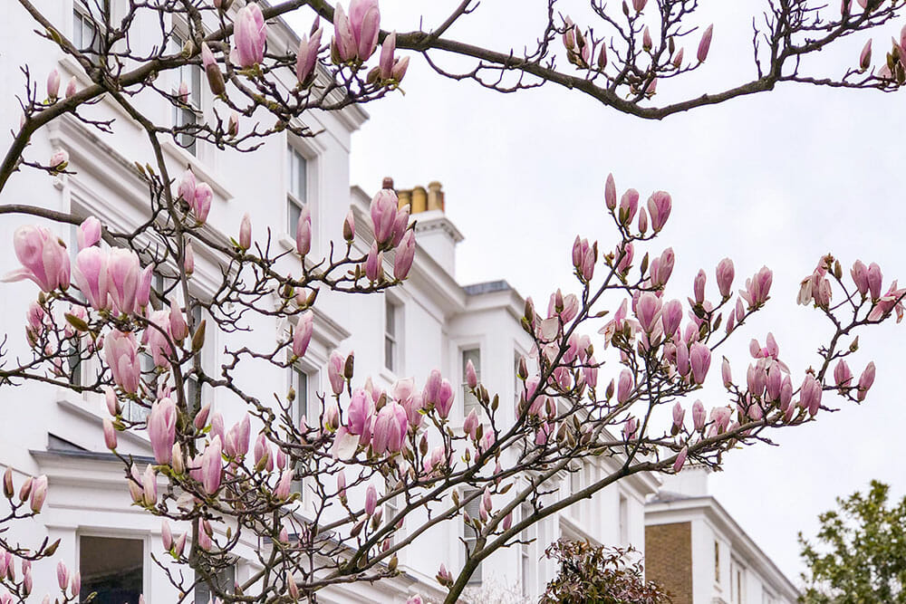 Flowering magnolias with row of white houses in the background