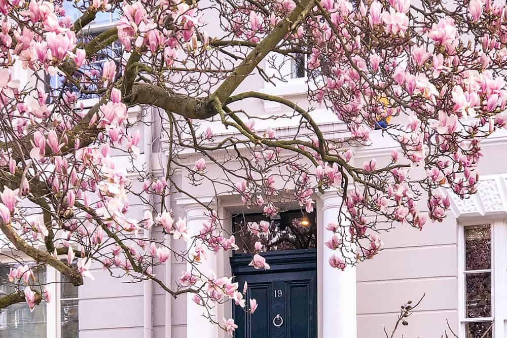 Magnolia in bloom in front of a grey building with navy blue door