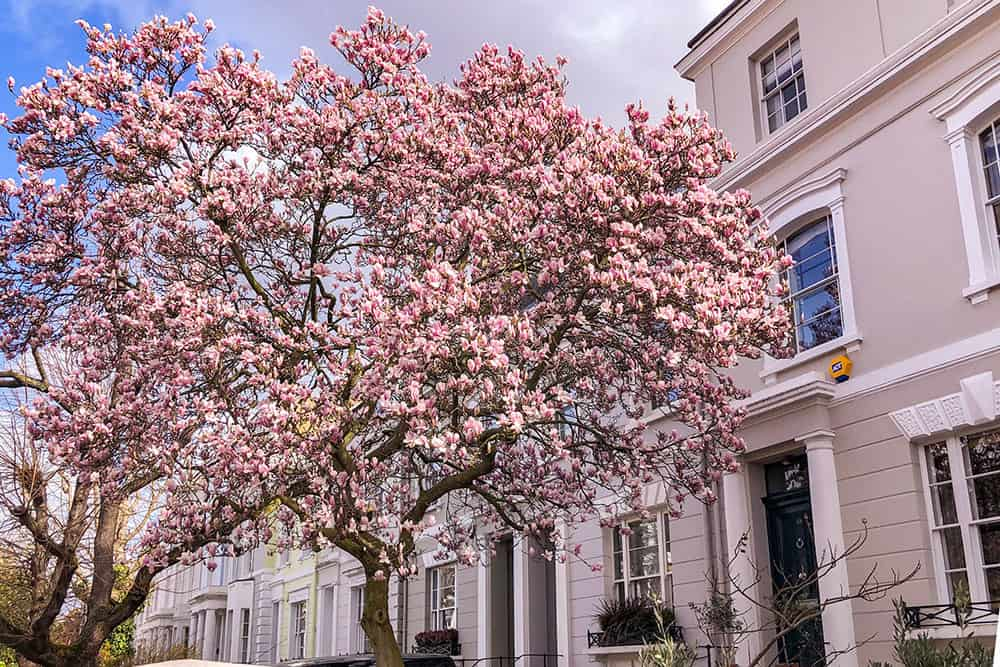 Big magnolia tree in bloom outside a grey townhouse