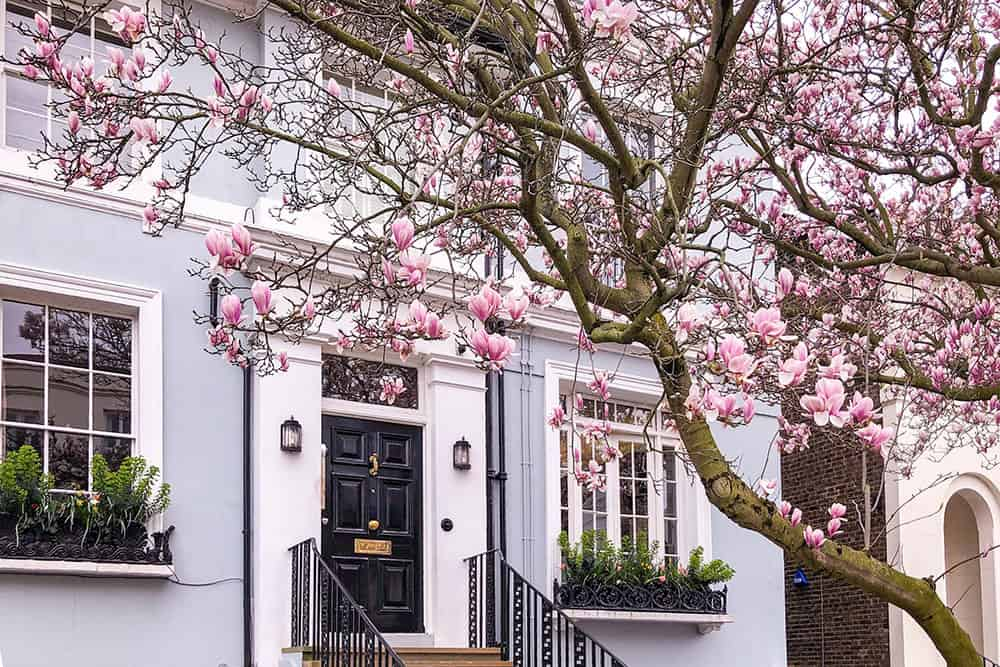 Flowering magnolia tree outside of blue house with black door