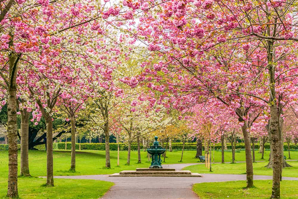 Pink cherry blossoms trees in a park  with a fountain in a crossing of paths