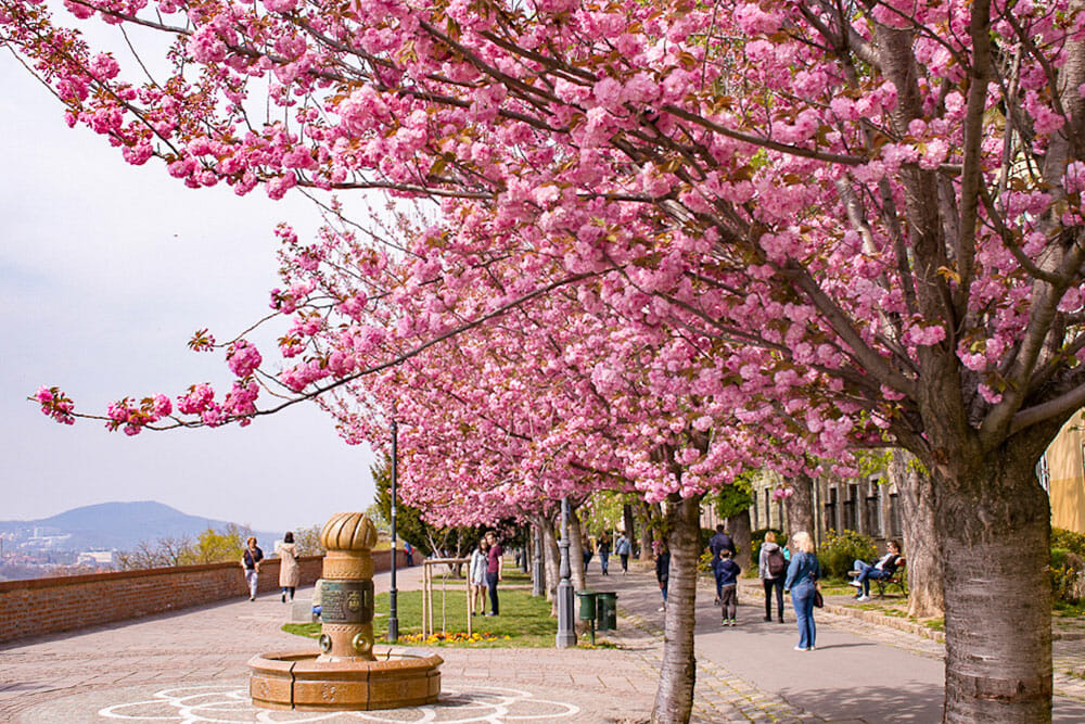 Pink cherry blossom trees in a park with views over the mountains