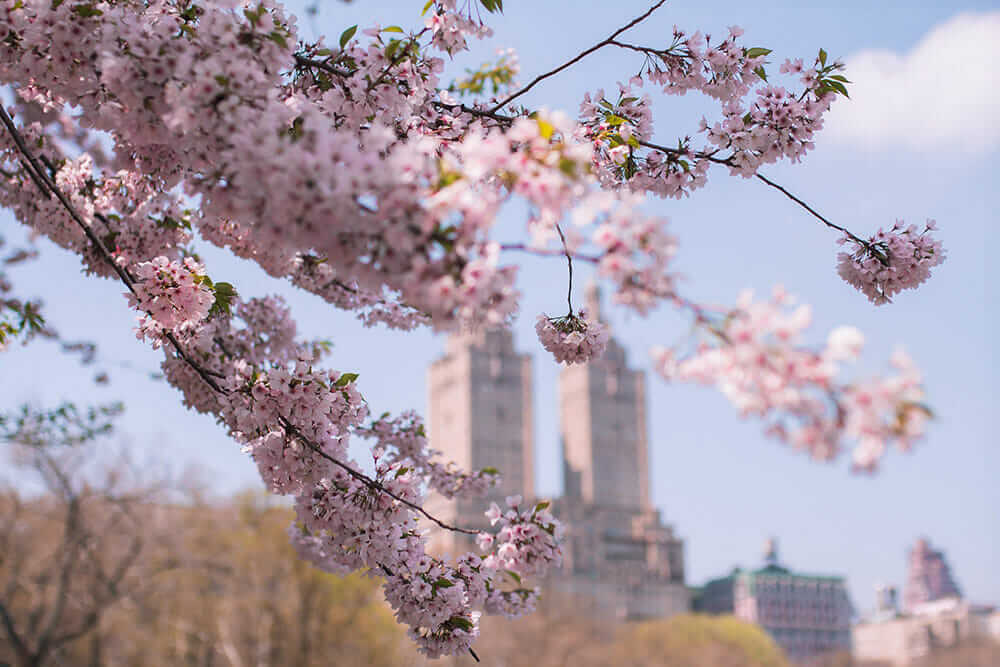 Cherry Blossom branches in the foreground and two skyscrapers in the background in New York City