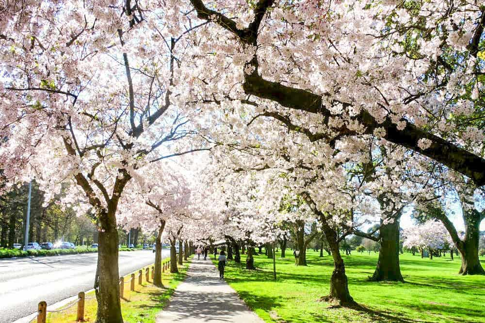 Path parallel to a road lined up with while cherry blossom trees