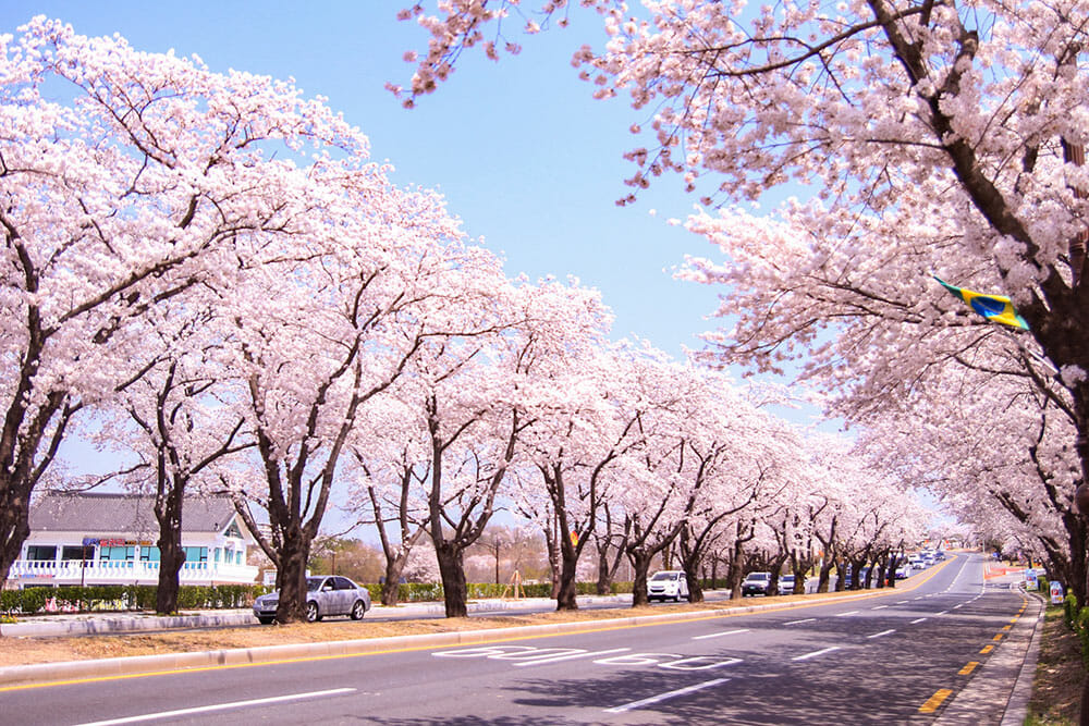 Road lined up by trees covered in pink cherry blossom