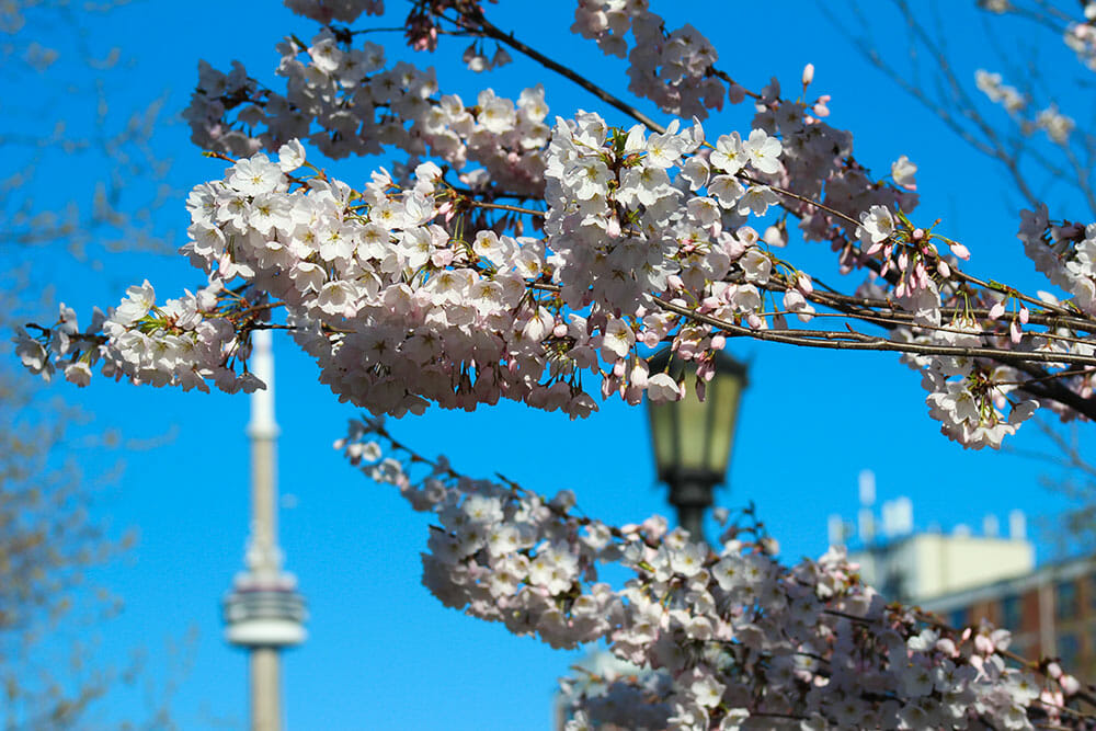 Cherry Blossom branches with CN Tower and a street light in the background