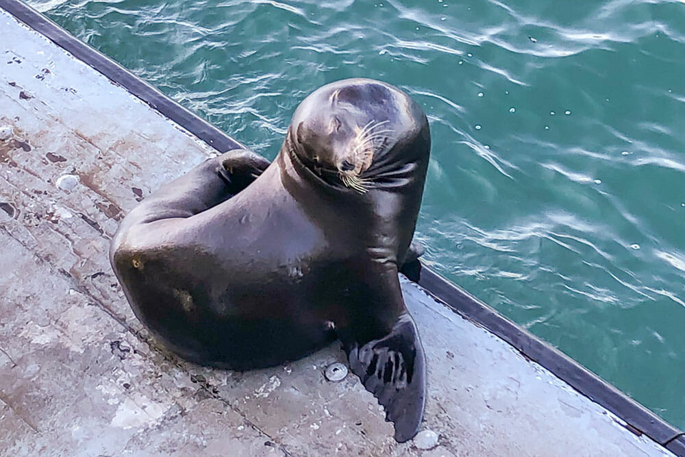 Sea lion resting on a floating platform, something you have to witness on your Santa Cruz day trip