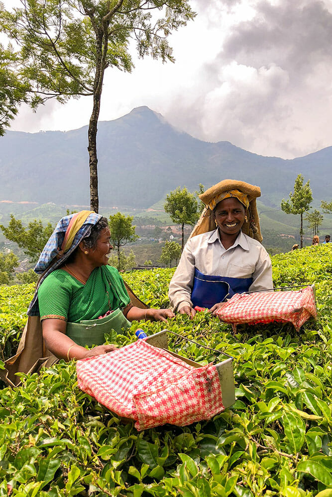 Two women laughing while working in the tea plantation trimming the tree bushes