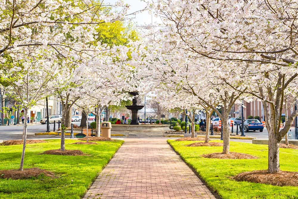 Park with path lined up by white cherry blossom trees and fountain at the end of the path