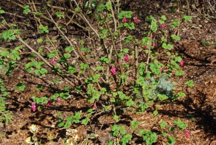 Flowering Currant buds