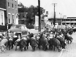 Hogs being led to the Bourbon Stockyards on Market Street (See credit below)