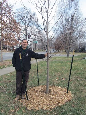 Bert Eisenback of Louisville Metro Parks with newly planted tulip poplar on Eastern Parkway. (Courtesy Allen Bush)