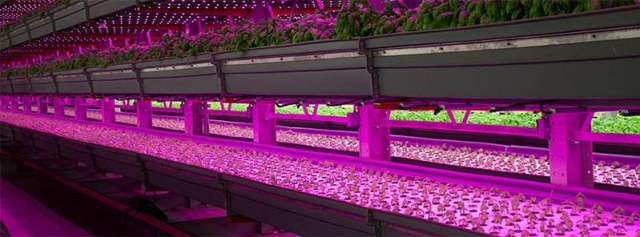 An indoor vertical farm in operation. (Courtesy FarmedHere)