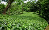 These tea gardens just go on and on.