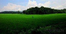 This is a rice field. Still green.