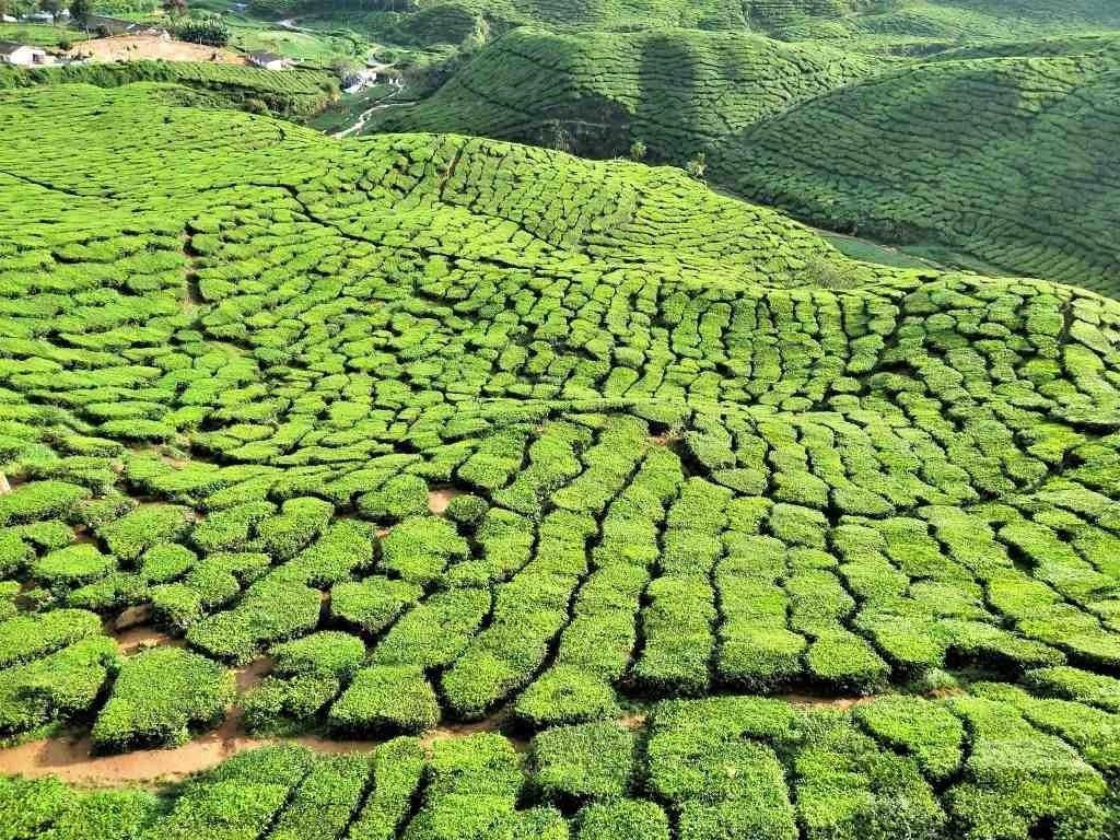 金馬倫高原自由行 馬來西亞避暑勝地Cameron Highlands